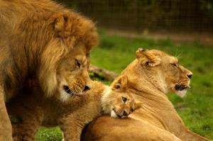 lion-with-family